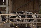 Pasekmės Alytuje: skerdžiami gyvuliai, ant mėšlo pilamas pienas