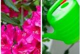 Paaiškino, kaip auginti lietuvių mėgstamą gėlę: svarbu štai kas