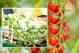 Padarykite tai savo pomidorams: augs kaip pašėlę