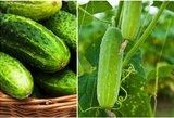 Pasiruoškite jau dabar: agurkų derlius netilps į maišus