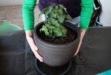 Sulauksite trigubo pomidorų derliaus: tereikia žinoti šias gudrybes