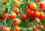 Palaistykite šiuo mišiniu pomidorus: Antanina žada dvigubą derlių