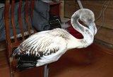 Į Saudo Arabiją keliavęs flamingas netyčia atsidūrė šalčiausiame pasaulio regione
