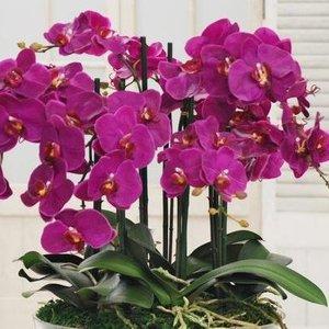 Norite, kad jūsų orchidėja sukrautų tiek žiedų? Tereikia žinoti 1 gudrybę