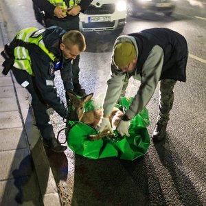 Vilniaus viduryje parblokštą stirną teko skubiai gelbėti