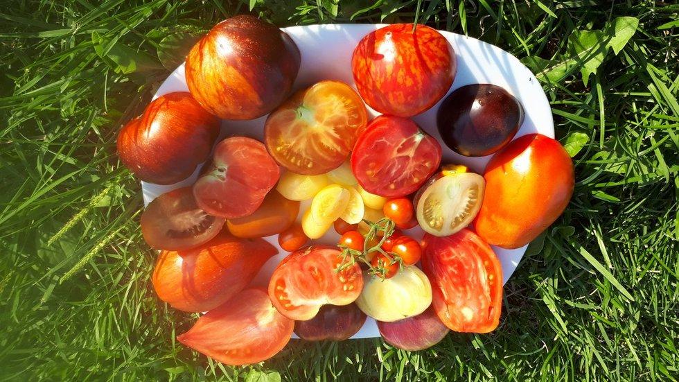 Ingrida savo namuose užsiaugino tikrą pomidorų rojų (nuotr. asm. archyvo)