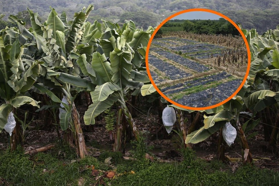 Pavojingas grybelis grasina pasaulį palikti be bananų (nuotr. SCANPIX)