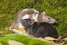Žiurkės (nuotr. 123rf.com)
