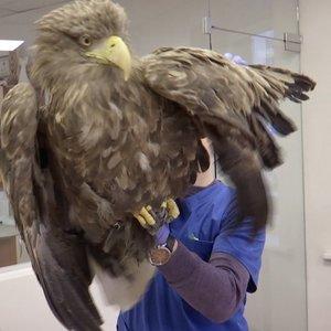 Kovoja dėl stambiausio Lietuvoje plėšriojo paukščio gyvybės: įtariamas apsinuodijimas