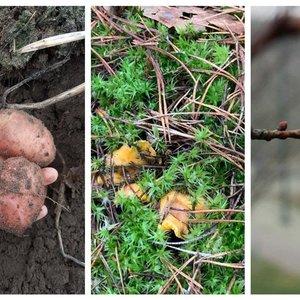 Gamta ir toliau krečia išdaigas: viduržiemį – šviežios bulvės ir voveraitės