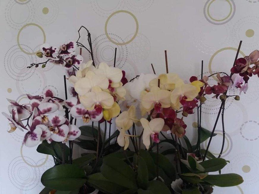 Astos auginamos orchidėjos žydi ištisus metus