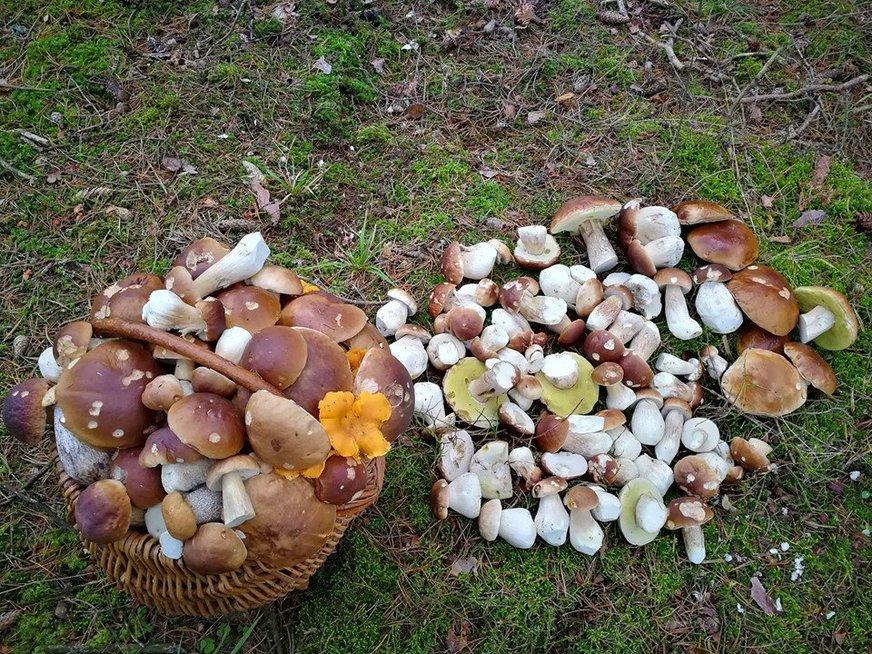 Grybautojo Evaldo laimikis – 203 baravykai. Grybai rasti spalio 28 dieną netoli Kupiškio