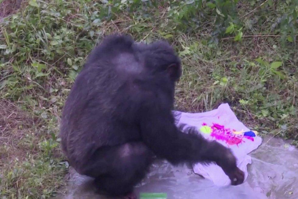Šimpanzė (nuotr. stop kadras)