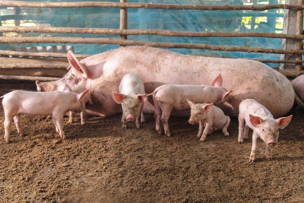 Kiaulės (nuotr. 123rf.com)