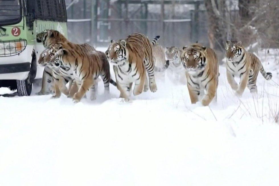 Tigrai (nuotr. stop kadras)