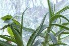Stebuklingas augalas beveik kiekvieno lietuvio namuose: ir nuo gripo, ir nuo raukšlių
