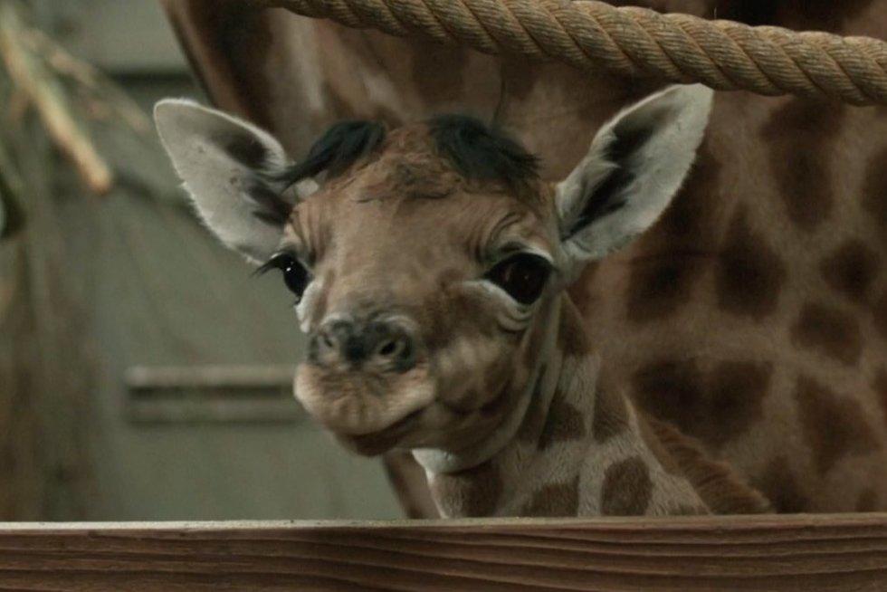 Žirafos jauniklis (nuotr. stop kadras)