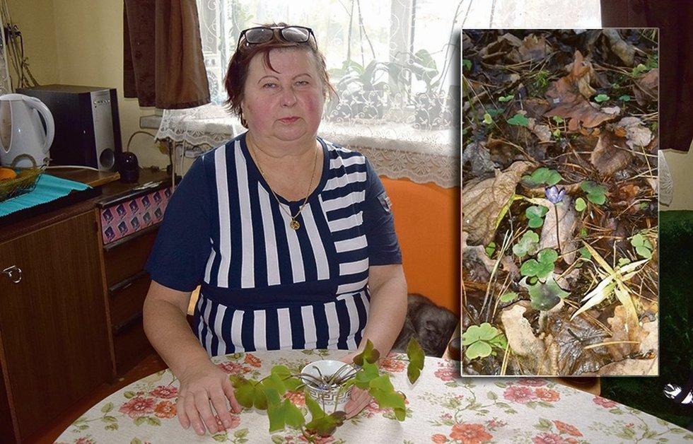 L. Pociuvienė miške rado žibuoklių (nuotr. muge.lt)
