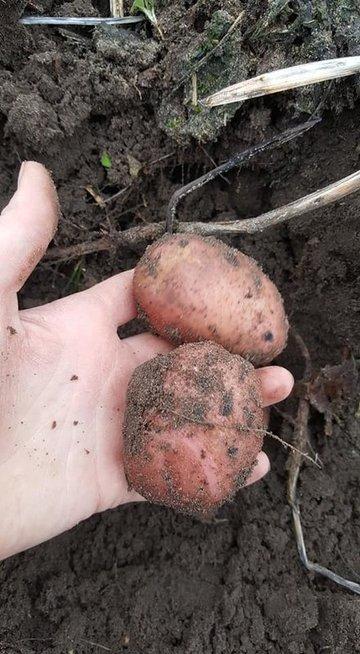Sausio viduryje – šviežios bulvės (nuotr. Irma Karosienė)