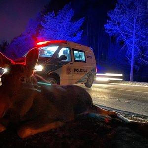 Vilniuje automobilis partrenkė į kelią išbėgusį briedį