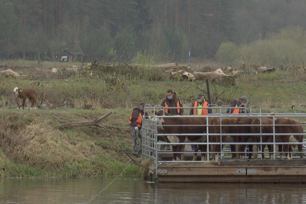 Dzūkijoje atkurti salas padeda karvės, ožkos ir avys (nuotr. stop kadras)