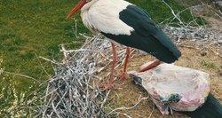 Šiauliuose gandras su prikibusiu maišu kankinasi jau daugiau nei savaitę
