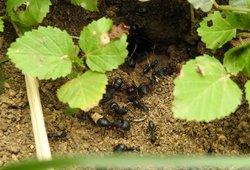 Pamirškite skruzdes sode visam laikui: tereikia žinoti šiuos patarimus