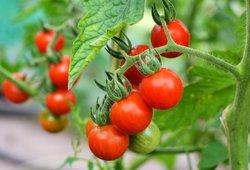 Išbandykite šias natūralias pomidorų trąšas: jas rasite savo namuose