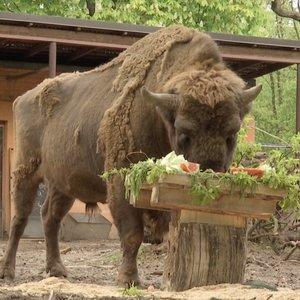 Pamatykite, kaip gimtadienius švenčia zoologijos sodo gyventojai
