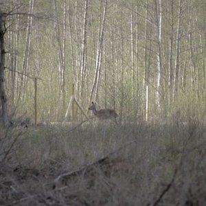 Bandymai apsaugoti miškus Lietuvoje tampa pražūtingi gyvūnams