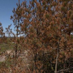 Permainos pajūryje: dėl kenkėjų ir klimato kaitos iškirs nemažai medžių