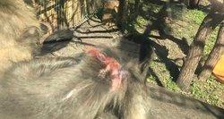 Veterinarijos tarnyba apie skundus dėl žaizdotų beždžionių: pretenzijų neturime