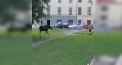 Netikėti svečiai Klaipėdoje: gyventojai stebėjo briedžio pasivaikščiojimą mieste