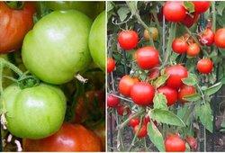 Varėniškis pasidalijo trąšų receptu – pomidorai dera lyg pašėlę