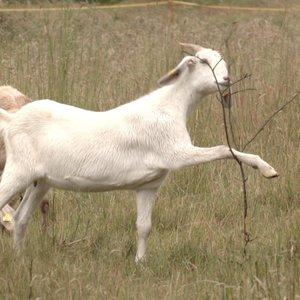 Kuršių Neriją gelbėja ožkos – jos nuėda viską, ko nereikia