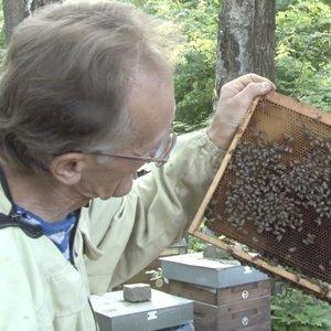 Šie metai – kitokie: kaip pašėlusios spiečiasi bitės