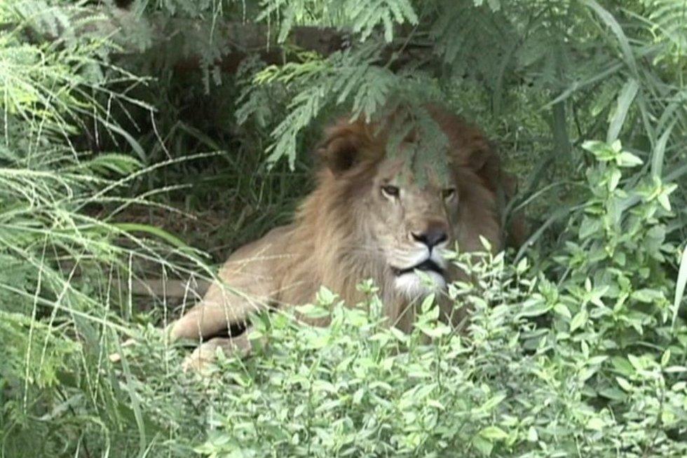 Liūtas (nuotr. stop kadras)
