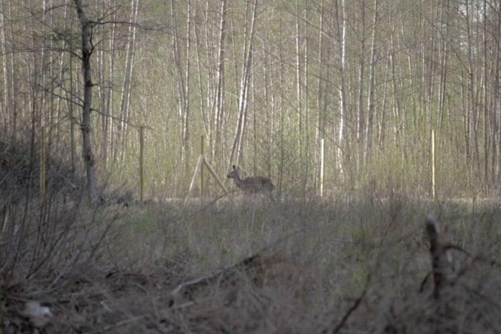 Bandymai apsaugoti atsodintus miškus tampa pražūtingi gyvūnams (nuotr. stop kadras)