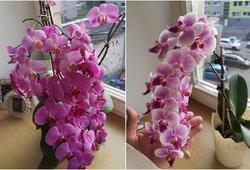 Kaunietės auginamos orchidėjos stebina svečius: atskleidė, kaip jas laisto