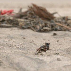Smiltynės paplūdimius nusėjo negyvi vabzdžiai
