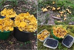 Stebinantis telšiškio voveraičių laimikis: iš miško grįžo su 75 litrais