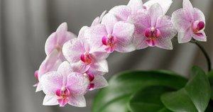 Orchidėjų žydėjimas namuose (nuotr. Shutterstock.com)