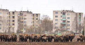 """Stumbrai ne tik siaubia ūkininkų laukus, bet ir ganosi palei greitkelį """"Via Baltica"""", net prisiartina prie daugiabučių."""