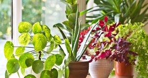 Kambarinės gėlės (nuotr. Shutterstock.com)