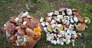Grybautojo Evaldo laimikis – 203 baravykai. Grybai rasti spalio 28 dieną netoli Kupiškio (nuotr. facebook.com)
