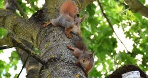 Kėdainiečių kieme apsigyveno voverių šeimynėlė (nuotr. asm. archyvo)