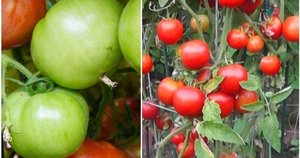 Pomidorai (nuotr. YouTube)