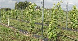 Vynuogių derlius