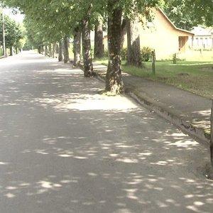 Anykščių rajone ant išasfaltuotos gatvės – šimtamečiai medžiai: jų iškirsti neleidžia