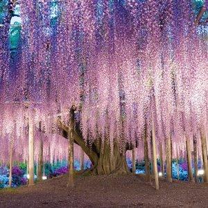 Šis medis vadinamas gražiausiu pasaulyje: vaizdas gniaužia kvapą